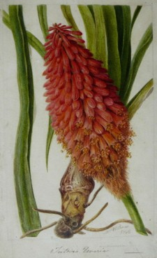 AUGUSTA INNES WITHERS (c.1793-1870) Tritoma Uvaria, Torch Lily or Red Hot Poker (1866English)