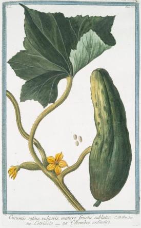 Bonelli, Giorgio, Hortus Romanus juxta Systema Tournefortianum, vol. 1: t. 63 (1783-1816)