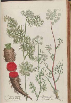 Daucus [as Daucus radice atrorubente] Weinmann, J.W., Phytanthoza iconographia, vol. 2: t. 459, fig. c (1739) [unsigned]