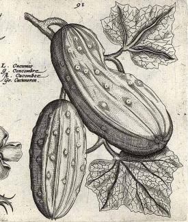 Passe, C. van de, Hortus floridus, fasicle pars altera, t. 90-91, fig. 91 (1614)