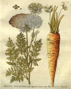 Daucus carota L. carrot, Queen Anne's lace Vietz, F.B., Icones plantarum medico-oeconomico-technologicarum, vol. 1: t. 74 (1800) [F.B. Vietz]
