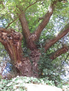The oak tree over the exhedra at Albury, Evelyn's family home https://londonslostgarden.wordpress.com/tag/garden-history/
