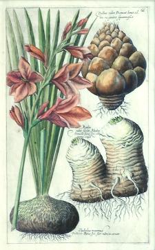 Gladiolus maximus from Sweerts Florilegium