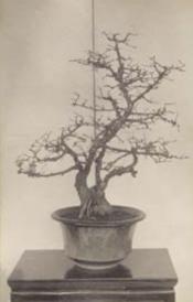 Higan cherry (Prunus subhirtella), Arnold Arboretum #889-37, started in 1852. Facing page, bottom, the plant circa 1913