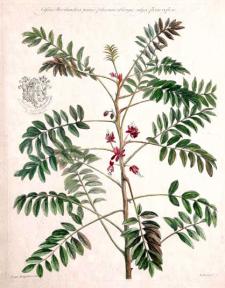 Senna marilandica - Cassia marilandica from Historia plantarum rariorum by John Martyn. London, 1728