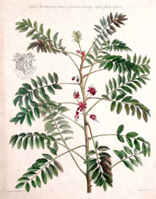 Senna marilandica - Cassia marilandica from Historia plantarum rariorum by John Martyn. London, 1728