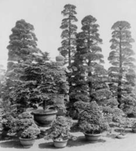"""A large group of pruned 'Chabo-hibas' at the Yokohama Nursery Company, photographed on June 7, 1918 by E. H. Wilson. The caption reads, """"Chamaecyparis obtusa var. nana Carr. Group of trained specimens. Tsuga diversifolia Maxim. In center."""" from Tredici article"""