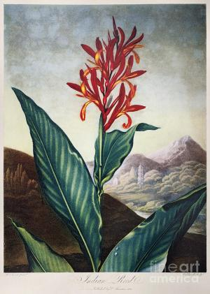 The Indian Reed from Robert THornton's Temple of Flora
