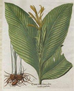 Canna indica L. [as Canna Indica rubra] Himalayan canna, India Canna Bessler, Basilius, Hortus Eystettensis, vol. 3: Secundus ordo collectarum plantarum autumnalium, t. 334 (1620) [B. Besler]