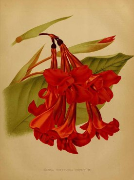 Canna iridiflora Ruiz & Pavon The garden. An illustrated weekly journal of horticulture in all its branches [ed. William Robinson], vol. 21: (1882)