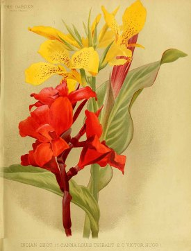 Canna hort. The garden. An illustrated weekly journal of horticulture in all its branches [ed. William Robinson], vol. 35: (1889)
