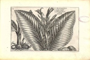 Canna indica L. [as Arundo Indica florida] Himalayan canna, India Canna Passe, C. van de, Hortus floridus, fasicle 3. autumnalis, t. 4 (1614)