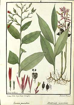 Canna paniculata Ruiz & Pavon Ruiz, H., Pavón, J., Drawings of the Royal Botanical Expedition to the Viceroyalty of Peru, t. 1, fig. 1 (1777-1816) [I. Galvez & F. Suria]