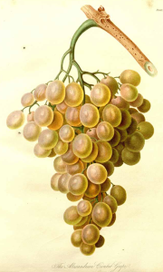 "Vitis vinifera "" Alexandrian Gioutat "" Transactions of the royal horticultural society of London, vol. 4: t. 1 (1822)"