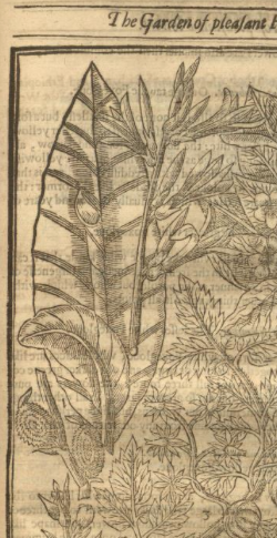 detail showing Canna indica from John Parkinson's Paradisus in Sole, 1629