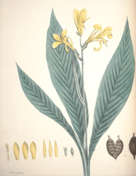 Canna glauca from William Roscoe's Monandrian plants of the order Scitamineae , 1828
