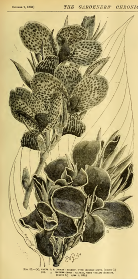 from Gardeners Chronicle 1893