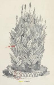 Frontispiece to Le canna, son histoire, sa culture : suivi d'une monographie des espèces et des variétés principales / par E. Chaté fils,... Auteur : Chaté, E. (fils) Éditeur : E. Donnaud (Paris) Date d'édition : 1867