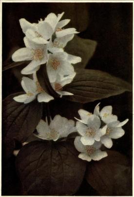 Common Syringa (Philadelphus coronarius), from Beautiful Flowering Shrubs