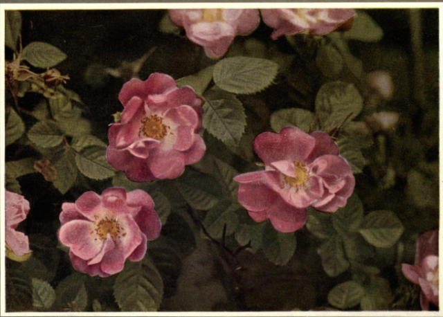Penzance Briar, from Beautiful Flowering Shrubs, by Gertrude Clarke Nuttall, 1922