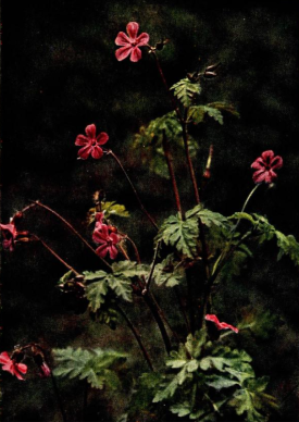 Herb Robert from Wild Flowers, 1911