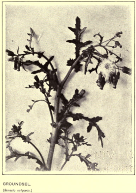 Groundsel from How to Find and name Wild Flowers, 1908.