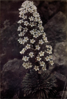 The Queen of Silvery Saxifrages, S.longifolia, frontispiece to Rock Gardening for Amateurs