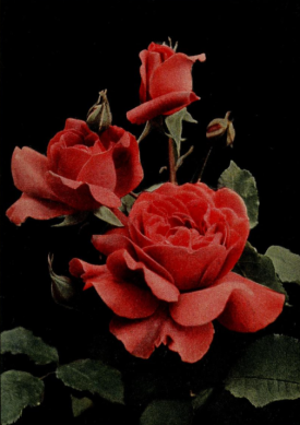 Rose General McArthur, (Hybrid Tea) from The Rose Book