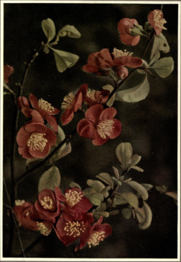 Japonica (Japanese Quince),Cyedonina japonica, from Beautiful Flowering Shrubs, 1922