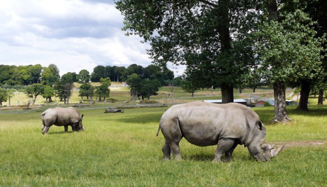 Rhinos at Longleat http://www.millfarmglamping.co.uk/in-this-area/longleat/