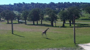 A giraffe basking in the sunshine at Longleat Safari Park in Wiltshire - not quite African weather though! http://www.itv.com/news/west/update/2012-07-24/weather-picture-tall-shadows-at-longleat/