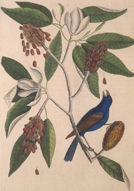 Magnolia virginiana, or Sweetbay, from Mark Catesby's The natural history of Carolina, Florida and the Bahama Islands, 1729, which was also growing at Wentworth