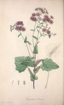 Pericallis cruenta (L'Hérit.) Bolle [as Cineraria cruenta Masson ex L'Hérit.] Ventenat, E.P., Jardin de la Malmaison, vol. 2: t. 99 (1804) [P.J. Redouté]
