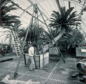 Repotting the cycad in 1985 http://www.landscapejuice.com/2009/07/cycad-encephalartos-altensteinii-repotted-at-kew-gardens.html