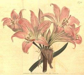 Amaryllis belladonna L. belladonna lily, Jersey lily, Cape belladona Curtis's Botanical Magazine, t. 693-739, vol. 19: t. 733 (1804) [S.T. Edwards]