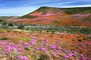 namaqualand-a-spectacular-swathe-of-colour-created-by-the-blooming-of-countless-flowers
