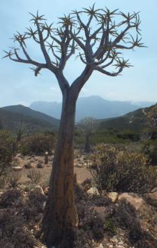 Aloe dichotoma, the Kokerboom David Marsh, Feb 2016