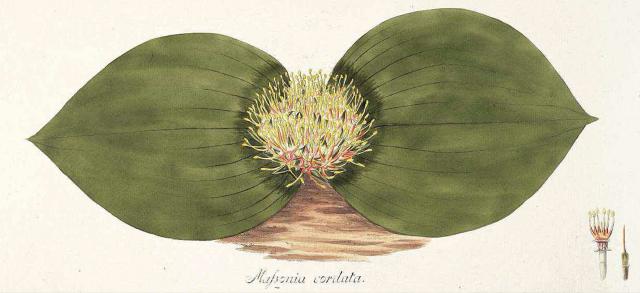 Massonia cordata Jacq. Jacquin, N.J. von, Plantarum rariorum horti caesarei Schoenbrunnensis descriptiones et icones, vol. 4: t. 459 (1804)