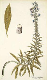 Echium candicans L.f. pride of Madeira Jacquin, N.J. von, Icones plantarum rariorum, vol. 1: t. 30 (1781-1786)