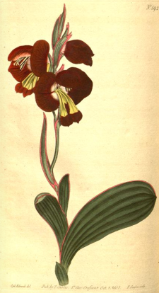 Gladiolus namaquensis. introduced by Masson, from Curt's Botanical Magazine, vol.15 [1801]https://archive.org/stream/mobot31753002719646#page/n231/mode/2up/search/Masson