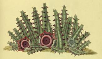 Stapelia reticulata from Stapeliae novae