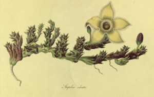 Stapelia ciliata from Stapeliae novae