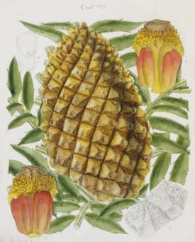 Encephalartos altensteinii by Matilda Smith, taken from Curtis's Botanical Magazine