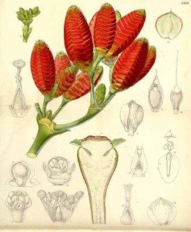Welwitschia mirabilis Hook.f. Curtis's Botanical Magazine, t. 5354-5419, vol. 89 [ser. 3, vol. 19]: t. 5369 (1863) [W.H. Fitch]