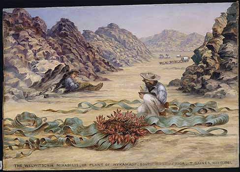 Welwitschia mirabilis Hook.f. Baines, T., Paintings, (1867), Kew