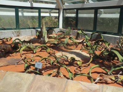 Welwitcshias growing at Kirstenbosch, David Marsh, Feb 2016