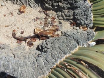 Welwitschia seed David Marsh, Feb 2016