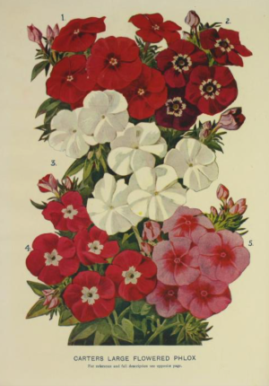 From Carter's 1909 catalogue
