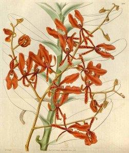Renanthera coccinea Lour. Curtis's Botanical Magazine, t. 2956-3038, vol. 57 [ser. 2, vol. 4]: t. 2997 (1830) [W.J. Hooker]