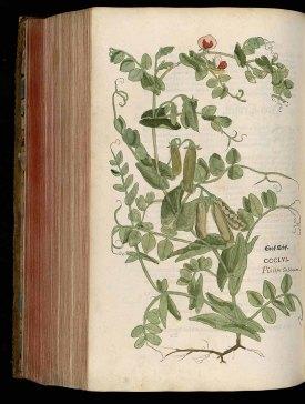 Pisum sativum L. Fuchs, L., New Kreüterbuch, t. 356 (1543) http://plantgenera.org/illustration.php?id_illustration=184772&SID=0&mobile=0&code_category_taxon=1